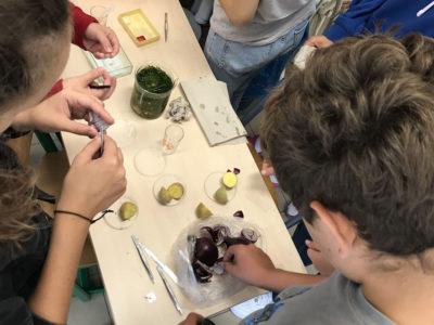 Preparace kapra na kroužku mikroskopování